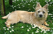Lila the cairn terrier