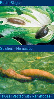 Nemaslug biological slug and snail control